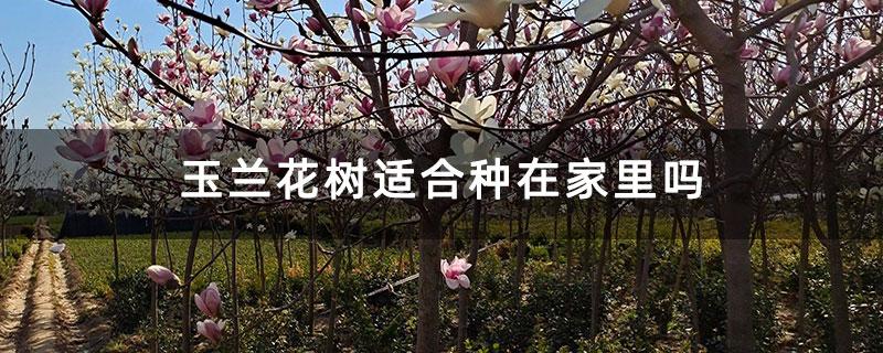 玉兰花树适合种在家里吗