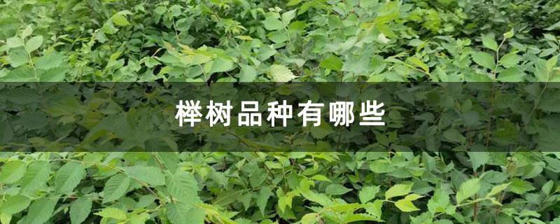 榉树品种有哪些