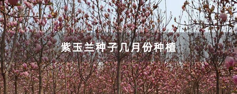 紫玉兰种子几月份种植