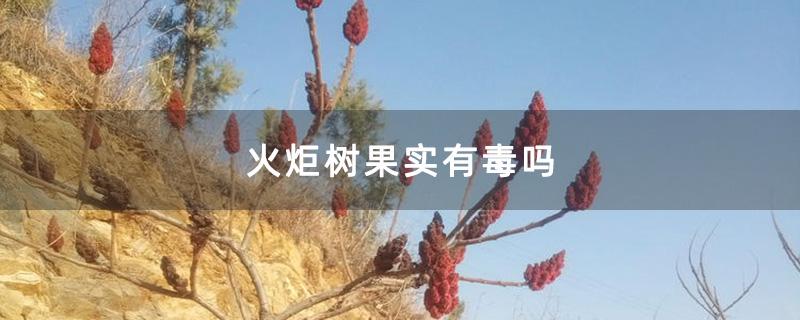 火炬树果实有毒吗