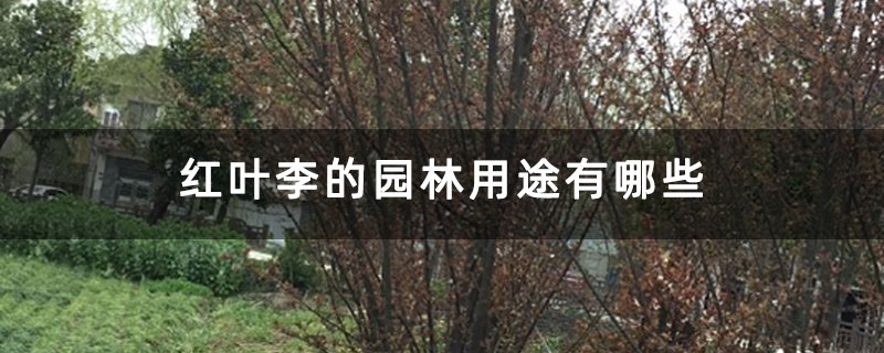 红叶李的园林用途有哪些