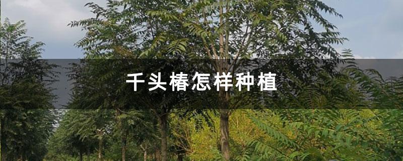 千头椿怎样种植
