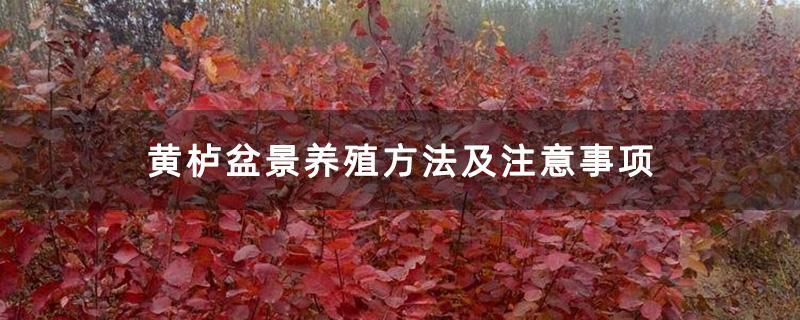 黄栌盆景养殖方法及注意事项
