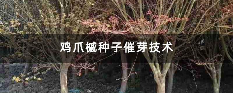 鸡爪槭种子催芽技术