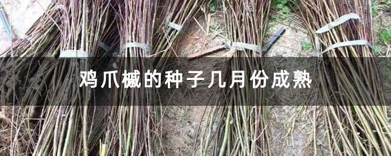 鸡爪槭的种子几月份成熟