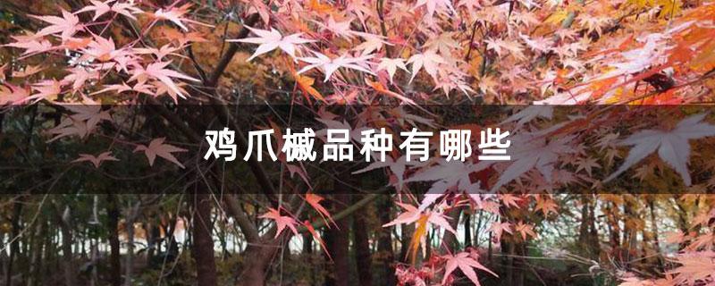 鸡爪槭品种有哪些