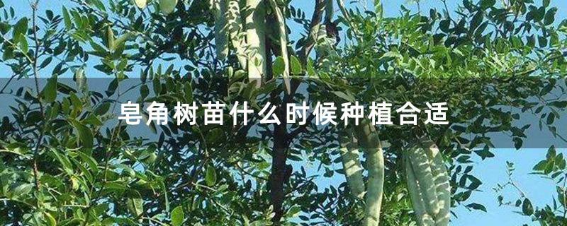 皂角树苗什么时候种植合适
