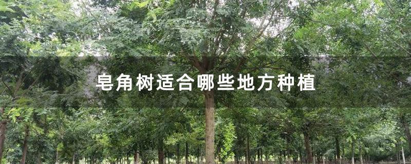 皂角树适合哪些地方种植