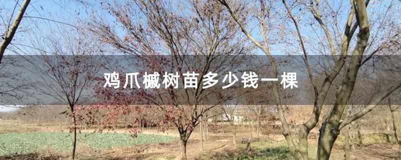鸡爪槭树苗多少钱一棵