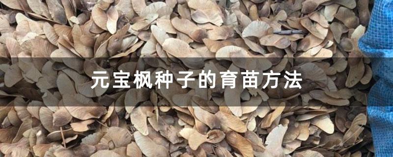 元宝枫种子的育苗方法