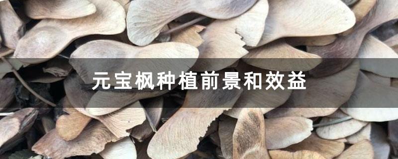 元宝枫种植前景和效益