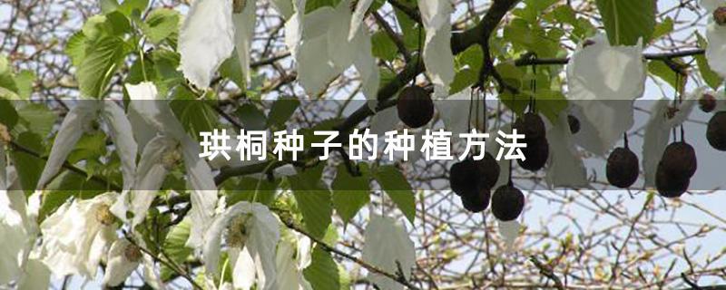 珙桐种子的种植方法