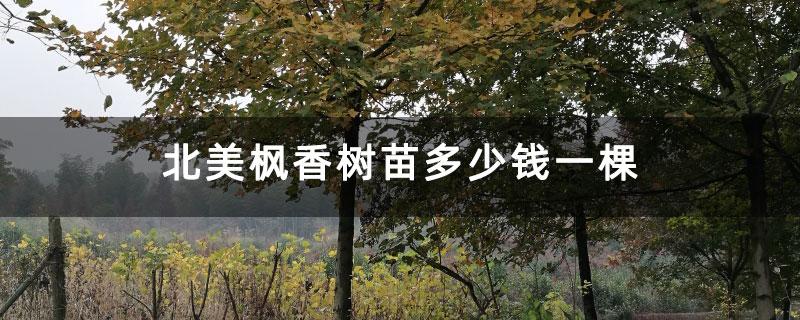 北美枫香树苗多少钱一棵