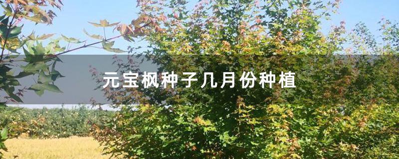 元宝枫种子几月份种植