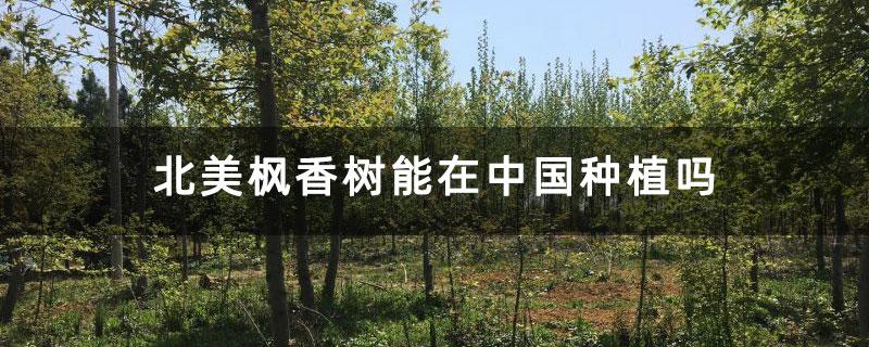 北美枫香树能在中国种植吗