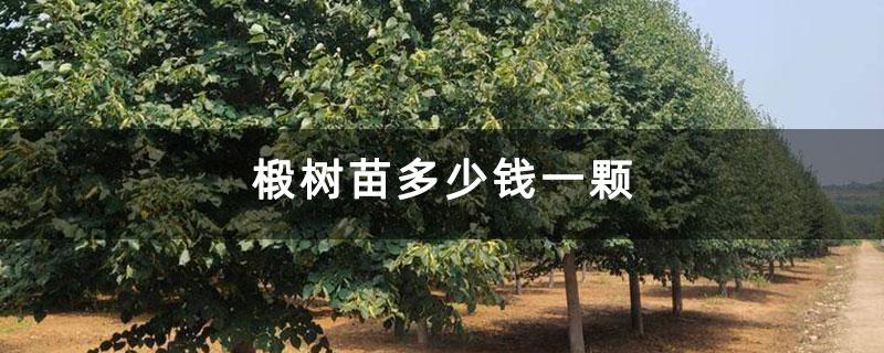 椴树苗多少钱一颗