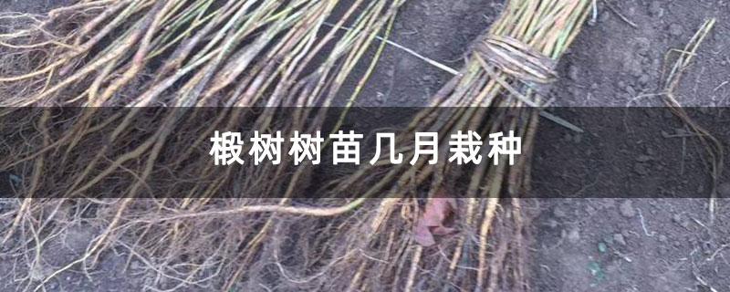 椴树树苗几月栽种