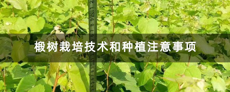 椴树栽培技术和种植注意事项