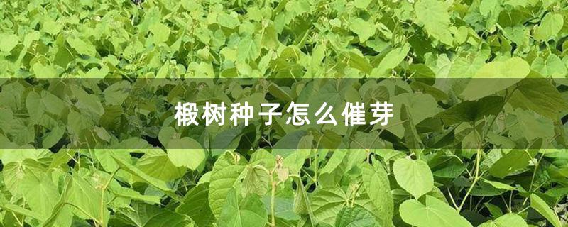 椴树种子怎么催芽