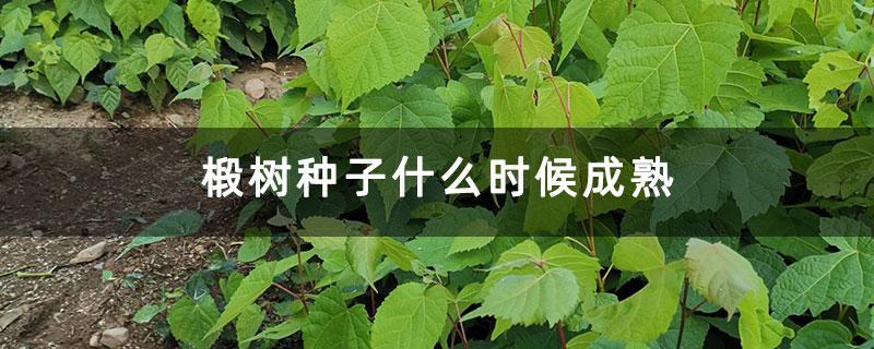 椴树种子什么时候成熟