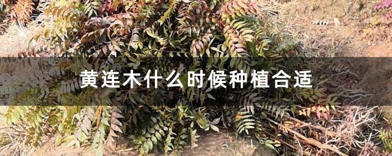 黄连木什么时候种植合适