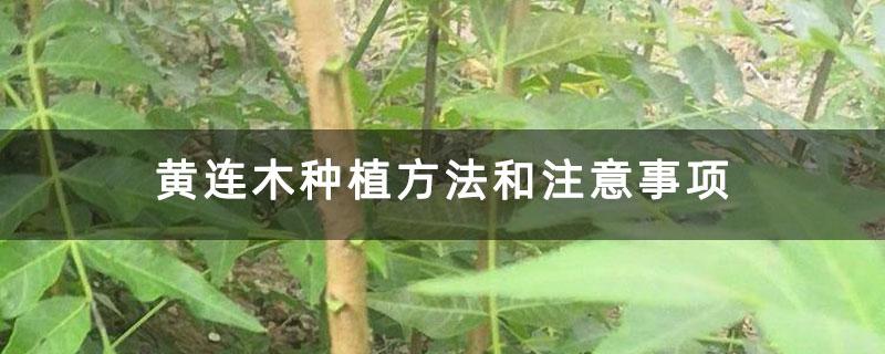 黄连木种植方法和注意事项
