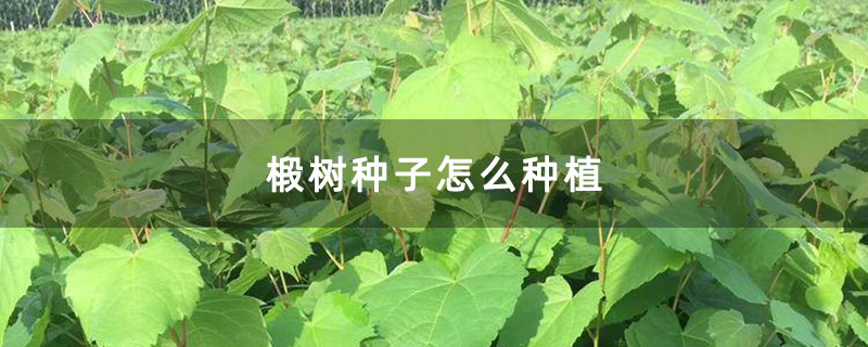 椴树种子怎么种植