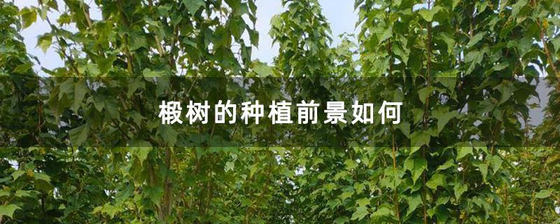 椴树的种植前景如何