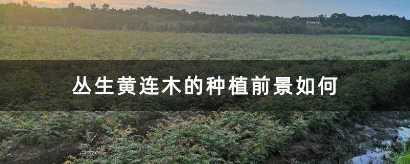 丛生黄连木的种植前景如何