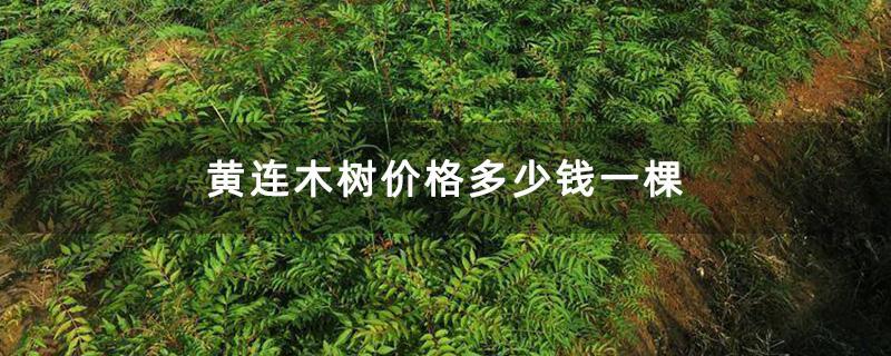 黄连木树价格多少钱一棵