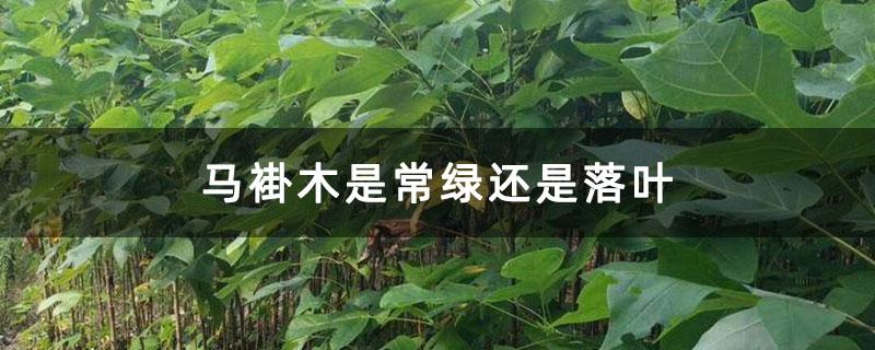 马褂木是常绿还是落叶