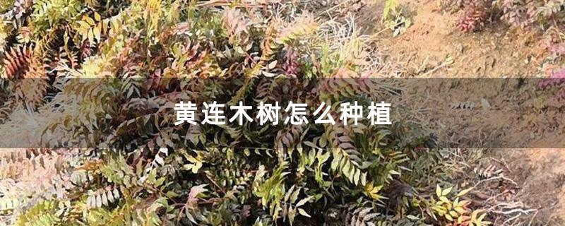 黄连木树怎么种植