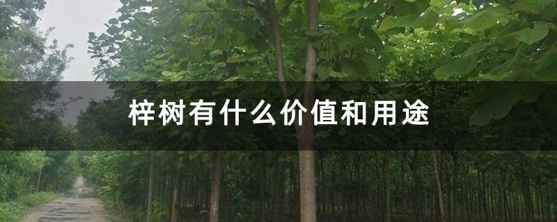 梓树有什么价值和用途