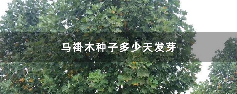 马褂木种子多少天发芽