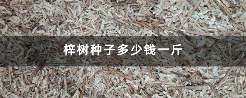 梓树种子多少钱一斤