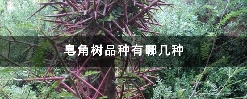 皂角树品种有哪几种