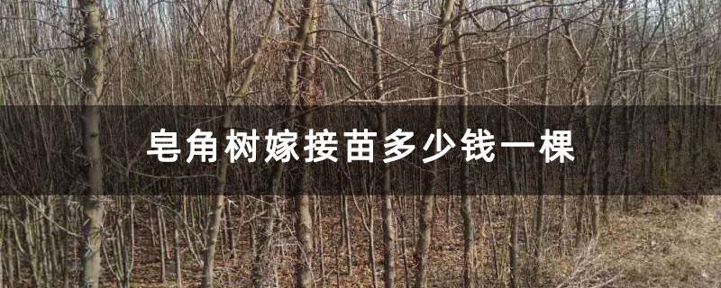 皂角树嫁接苗多少钱一棵