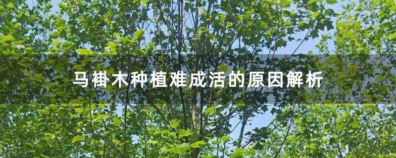 马褂木种植难成活的原因解析