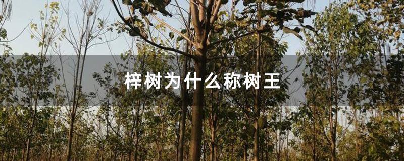 梓树为什么称树王