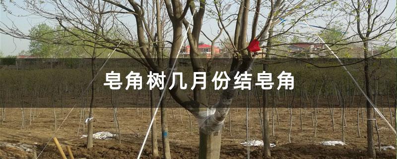 皂角树几月份结皂角