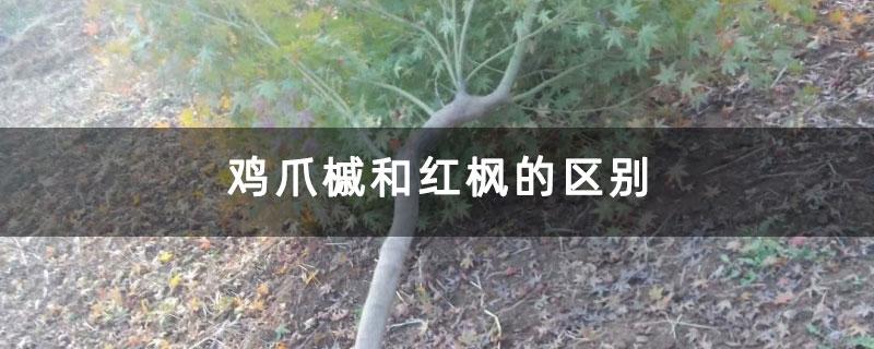 鸡爪槭和红枫的区别