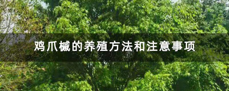 鸡爪槭的养殖方法和注意事项