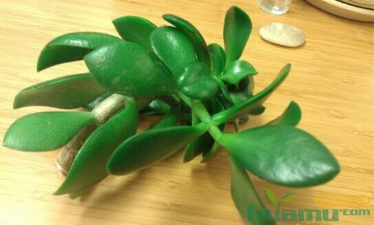多肉植物玉树如何扦插