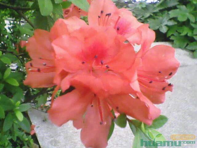 杜鹃花常见病虫害防治