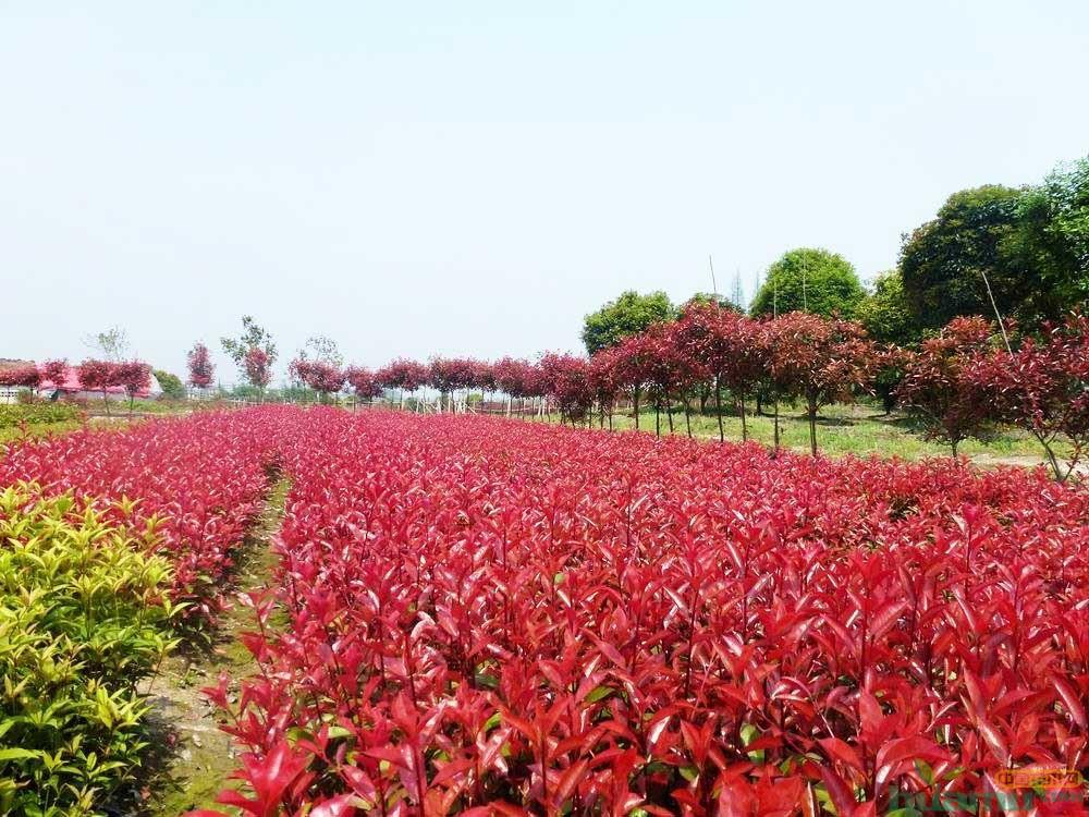 红叶石楠常见病虫害防治