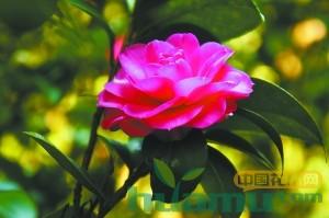 广州华南植物园150种山茶花芬芳吐艳