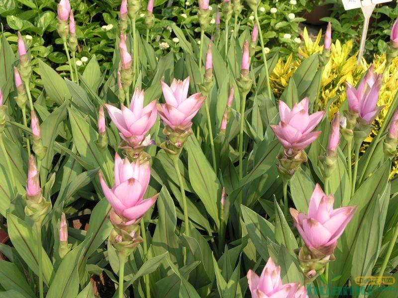 姜荷花切花的栽培管理
