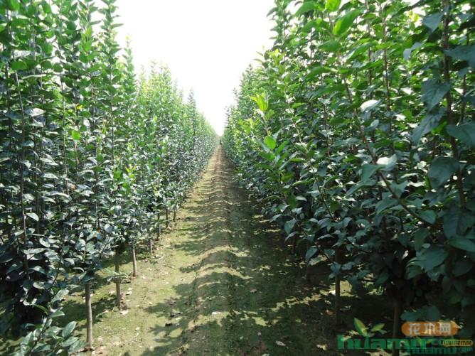 瑞悦升园艺场周国峥:果树与绿化树齐飞 苗木场上弄潮儿