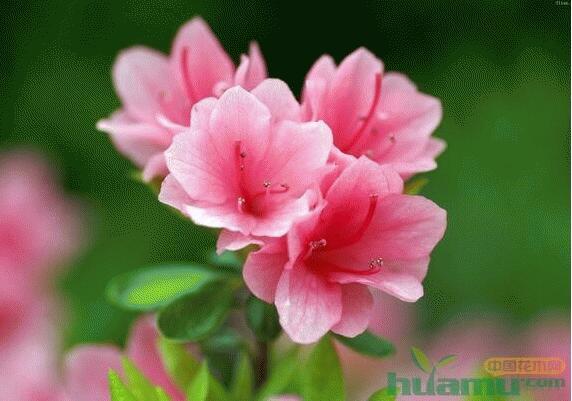 室内杜鹃花的养殖栽培方法
