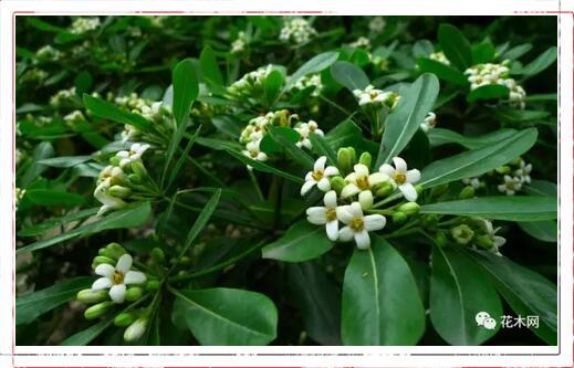 海桐的养殖方法,播种扦插以及室内栽培